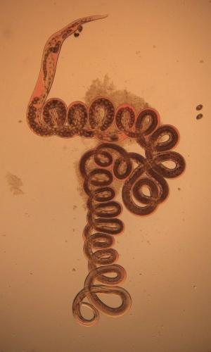 800pxheligmosomoides